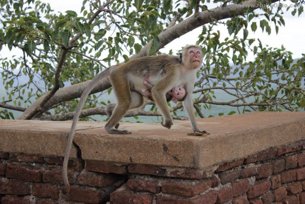 Macaco Sri Lanka