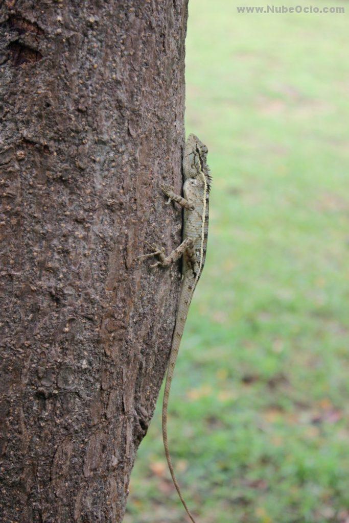 Lizard Polonnaruwa Sri Lanka